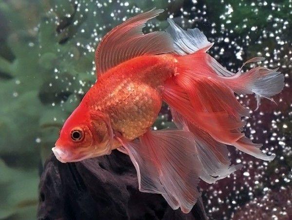 Золотая Рыбка: виды с фото, содержание и размножение в ...