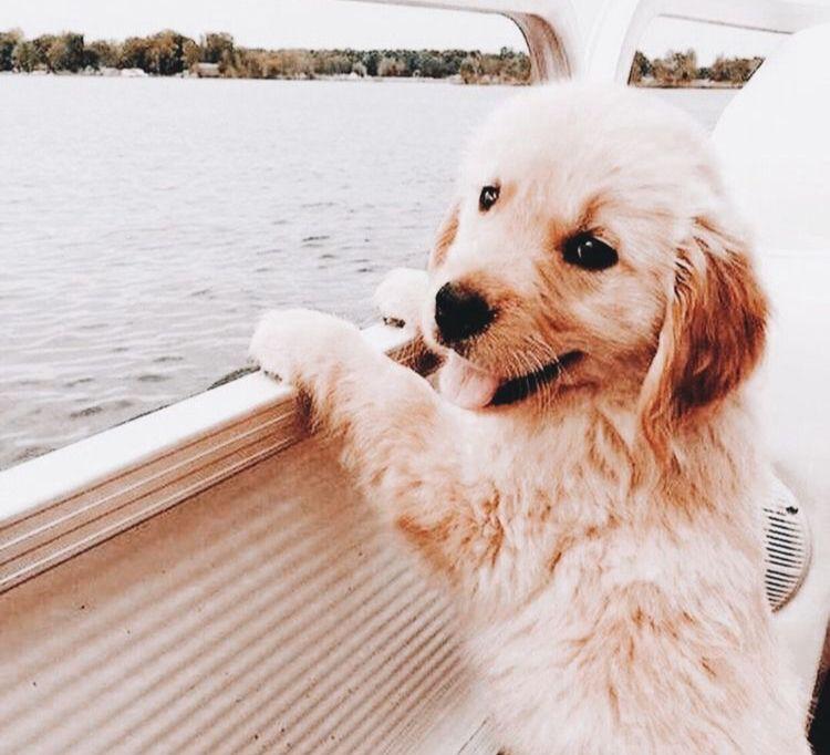 Dog On A Boat Goldenretriever Cute Animals Cute Baby Animals