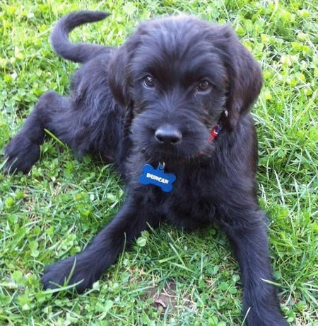 After Im Married This Is The First Thing In My House Labradoodles Labradoodle Cute Puppy Names Cute Dogs