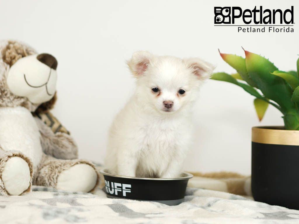 Petland Florida Has Chihuahua Puppies For Sale Check Out All Our Available Puppies Chihuahua P Puppy Friends Chihuahua Puppies For Sale Chihuahua Puppies