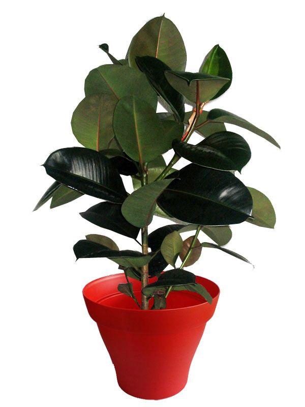 Ficus robusta avec cache pot rouge
