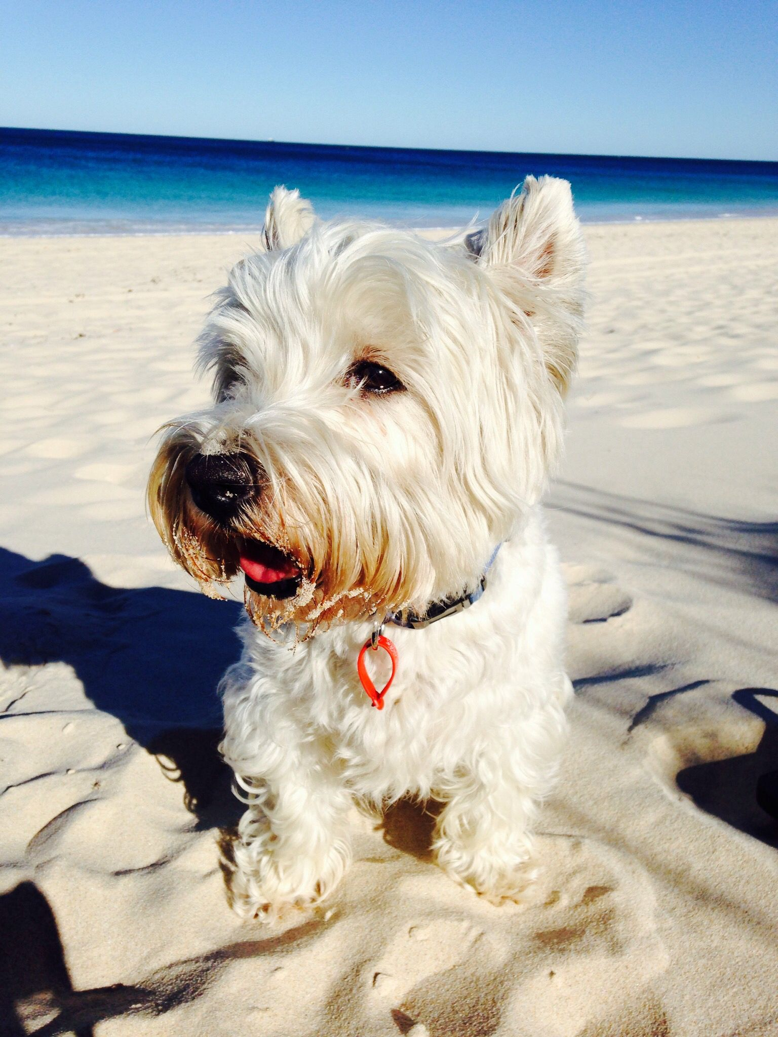 Bodacious Terrier A Hottie Westie On Hot Beach West Land Dogs Small Dog Breeds Pomeranian Small Terrier Dog Breeds bark post Small White Dog Breeds
