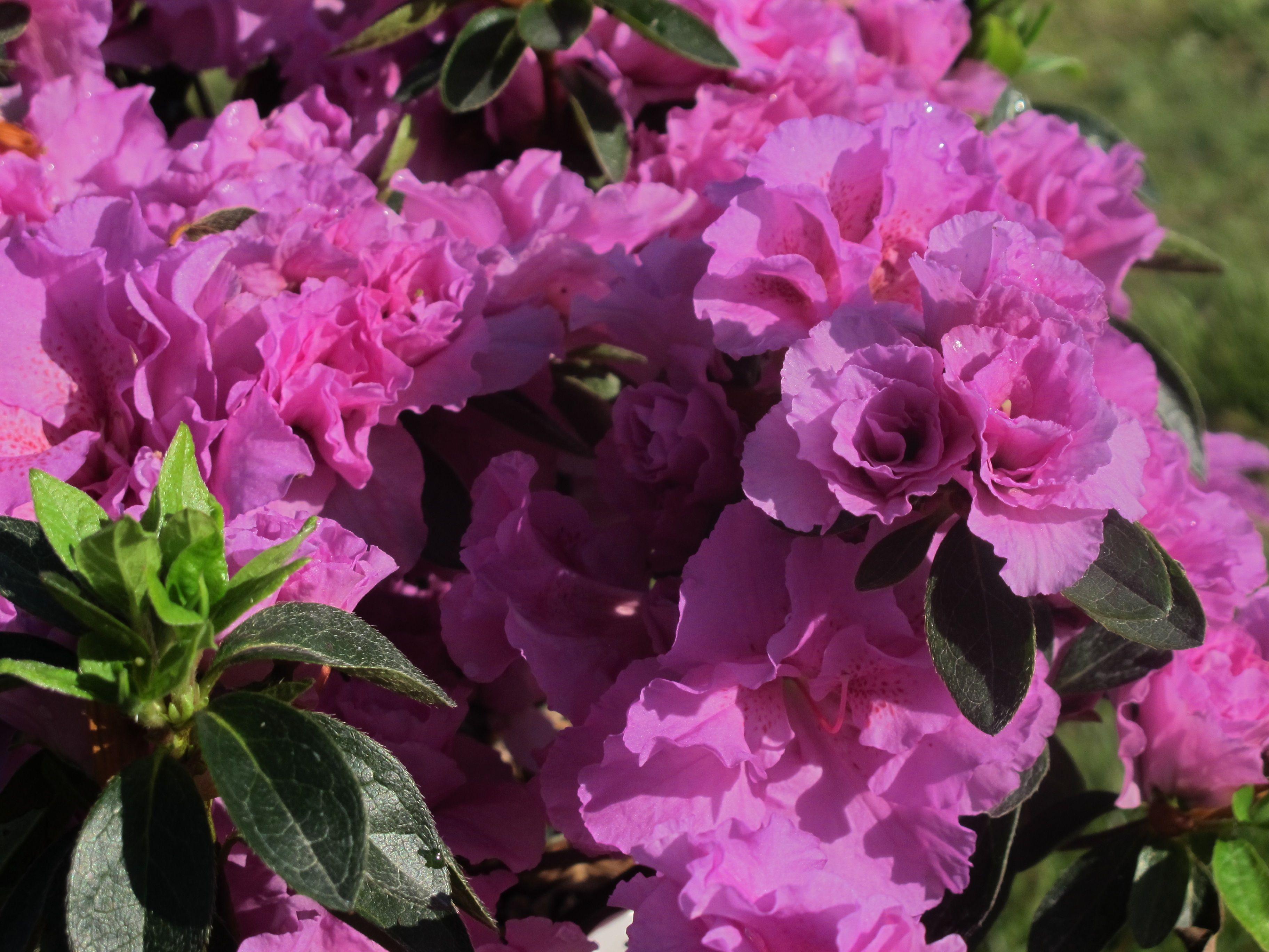 Azalea japonica broceliande perceval walmauvruf bg9 for Plante japonaise