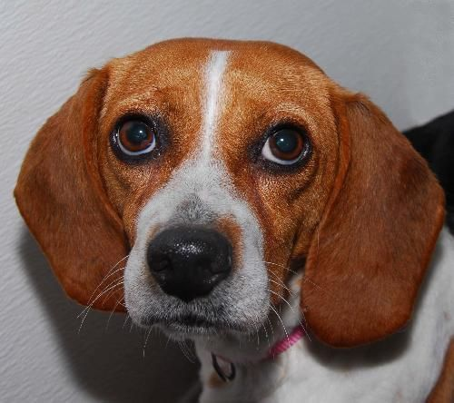 Beagle Medium Coat Female Spayed Adult Besty Is An