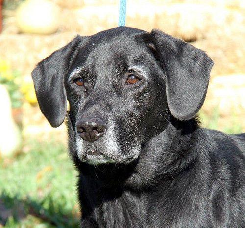 Adopt Ranger on Labrador retriever, Dogs, Labrador