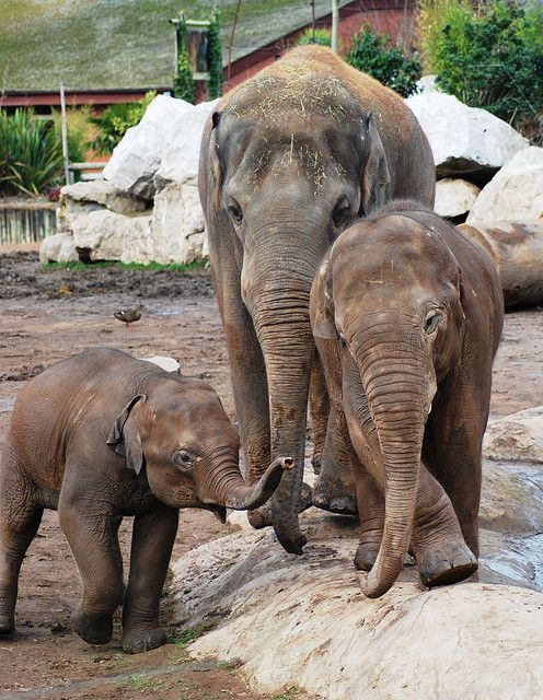 #asianelephants #herdlife #elephants #babyelephant