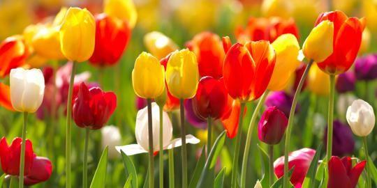 Wallpaper Foto Dan Gambar Bunga Cantik Untuk Laptop Bunga Bunga Tulip Gambar