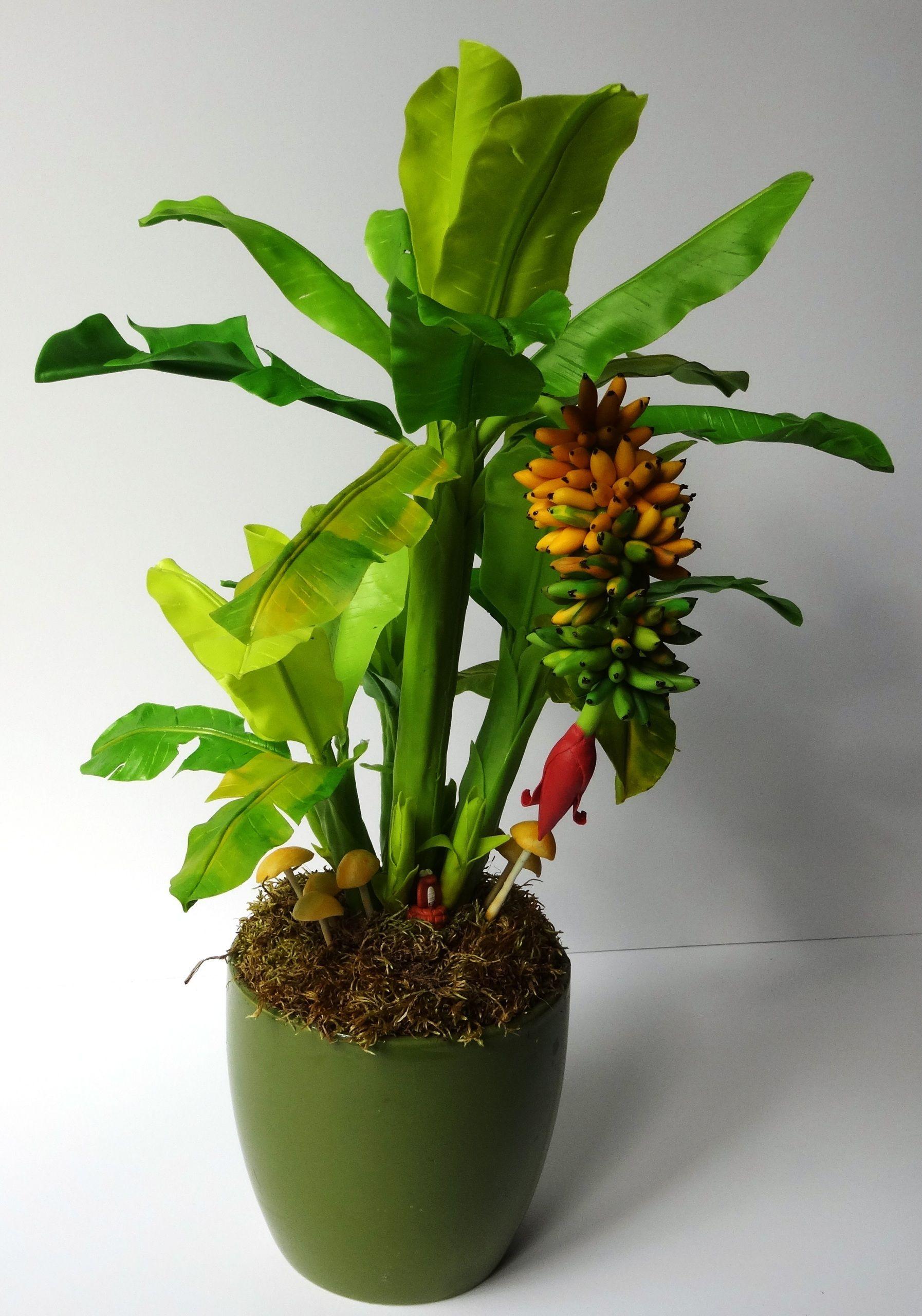 также банановое дерево комнатное фото образец рлс