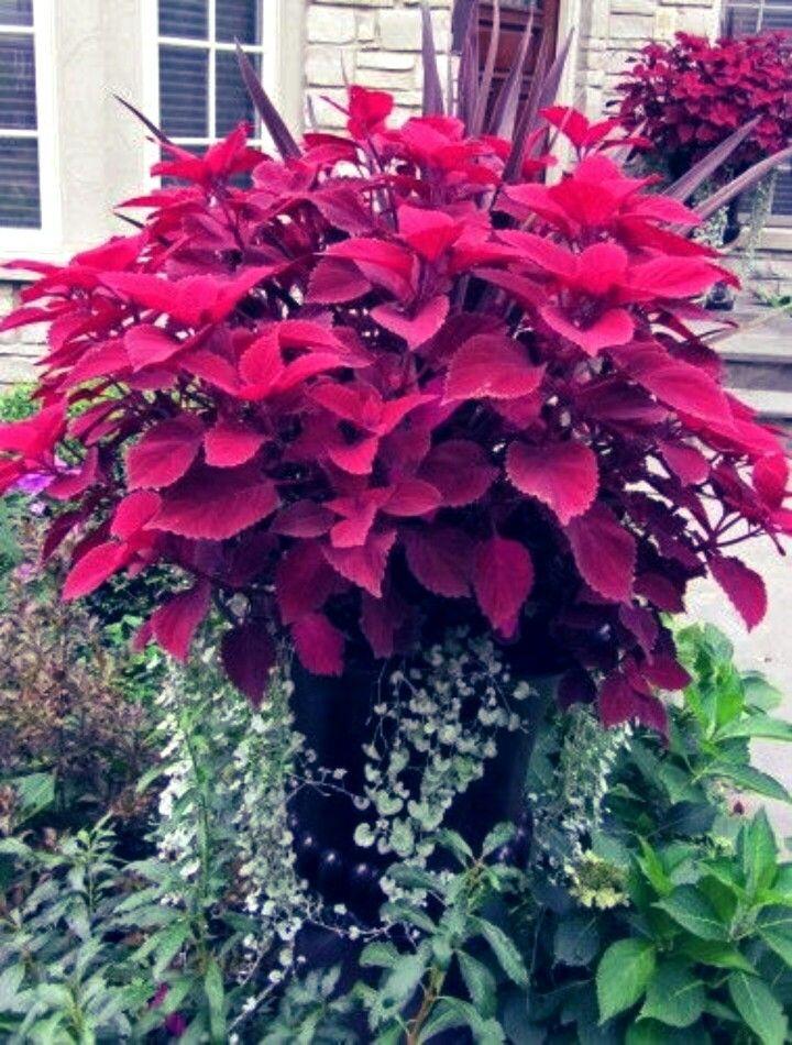 Mahasin Container Gardening Plants Ornamental Plants