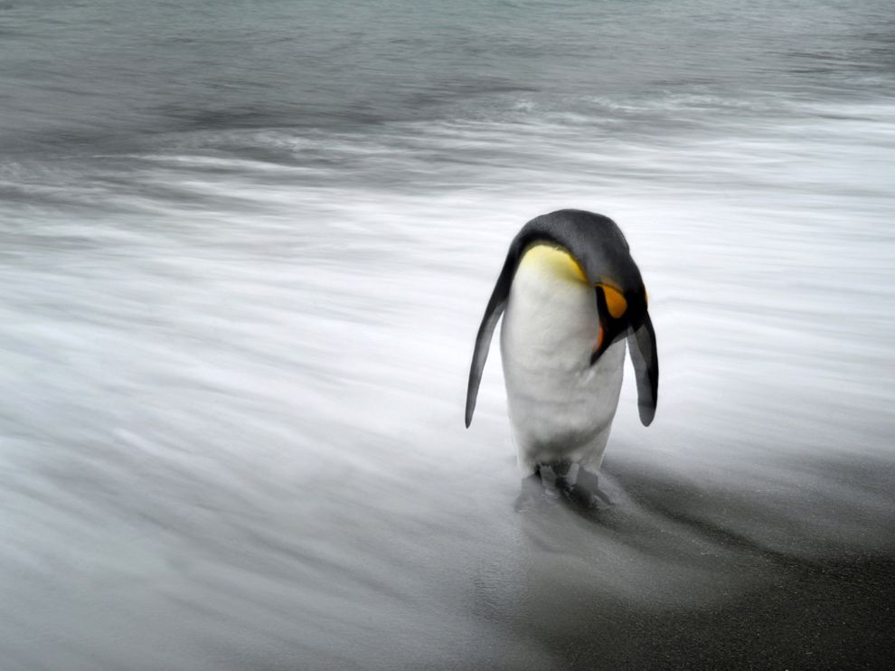 Penguin, South Georgia Island, photo by Max Seigal