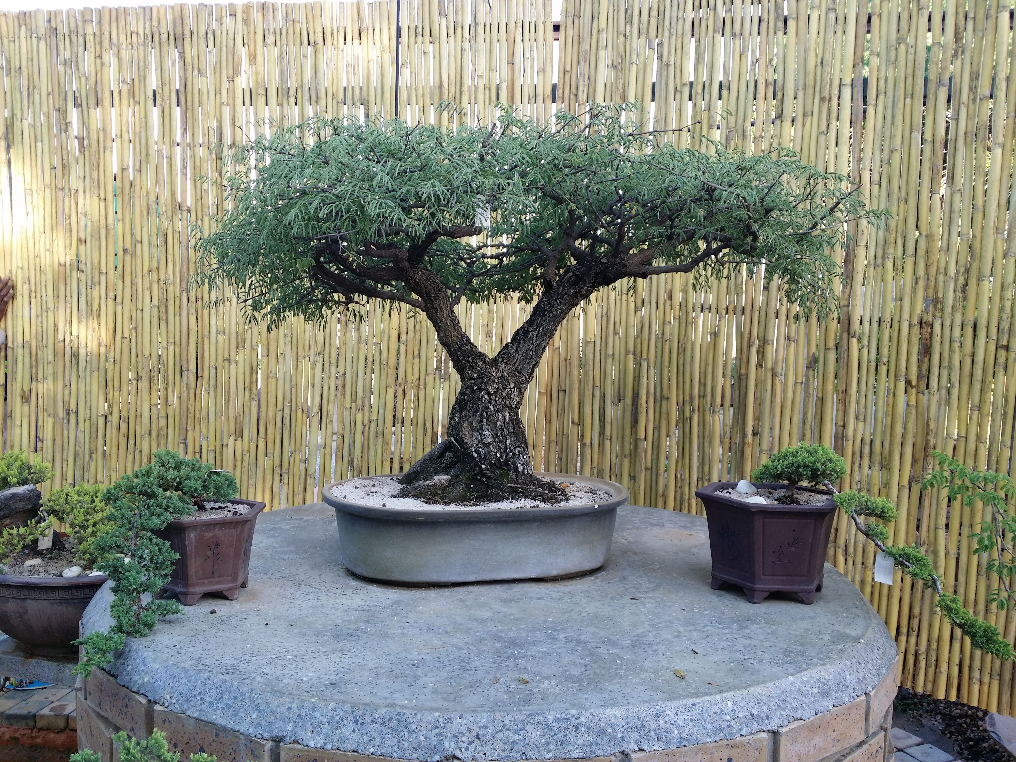 96 Years Old Bonsai Black Monkey Thorn Tree Grown From Seed As A Bonsai Many People Take Cuttings From Large Trees And Pass Bonsai Tree Bonsai Growing Seeds
