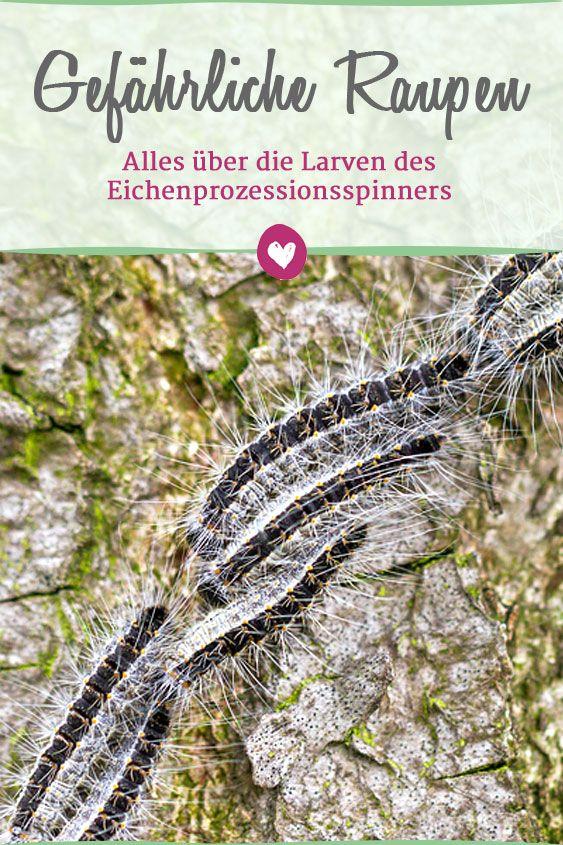 Welche Beschwerden Die Raupen Des Eichenprozessionsspinners Auslosen Konnen Und Was Man Gegen Den Eichenprozessionsspinner Pflanzenschadlinge Gartenschadlinge