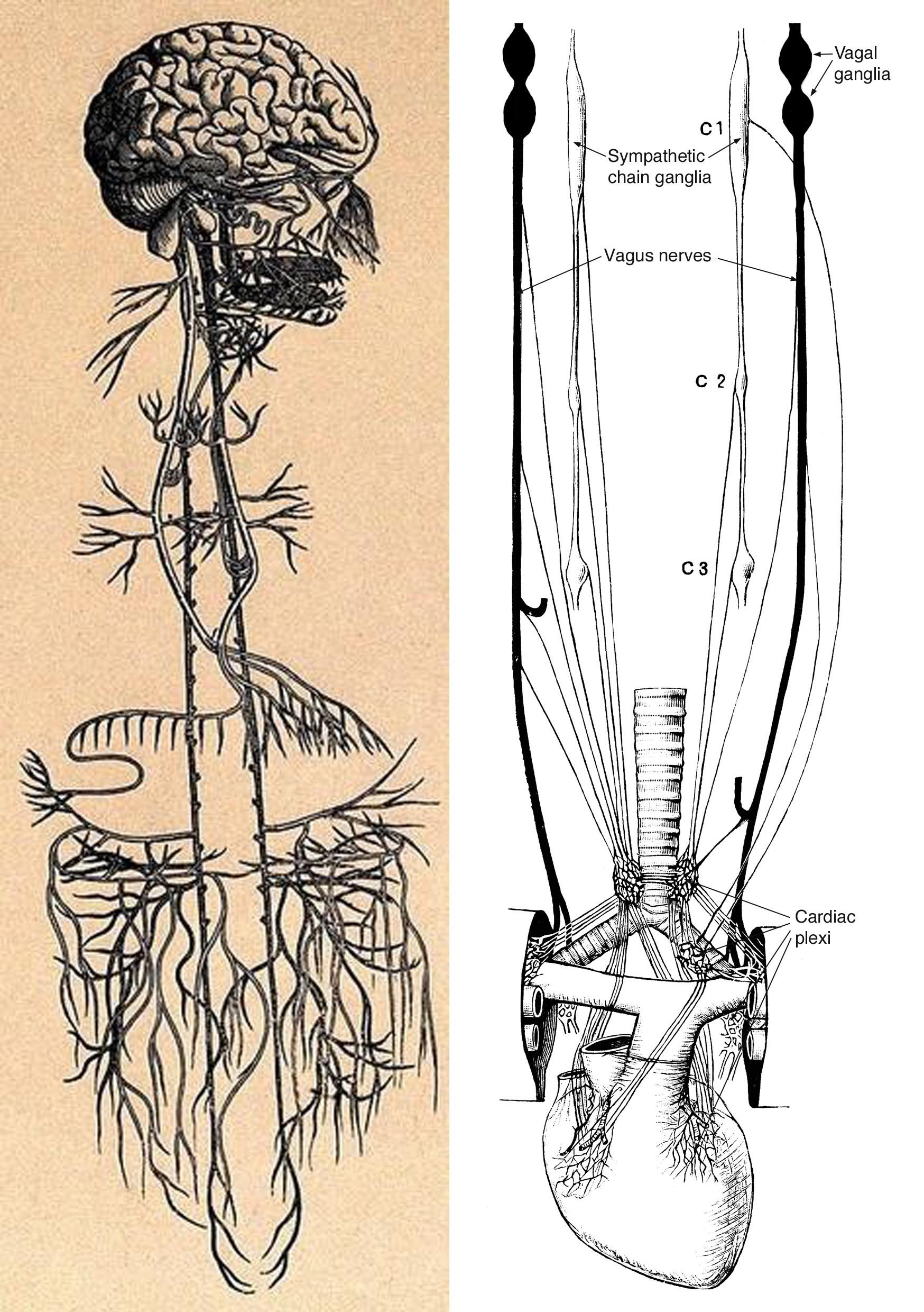 The Vagus. Left: The territory innervated by the paired vagus nerves ...