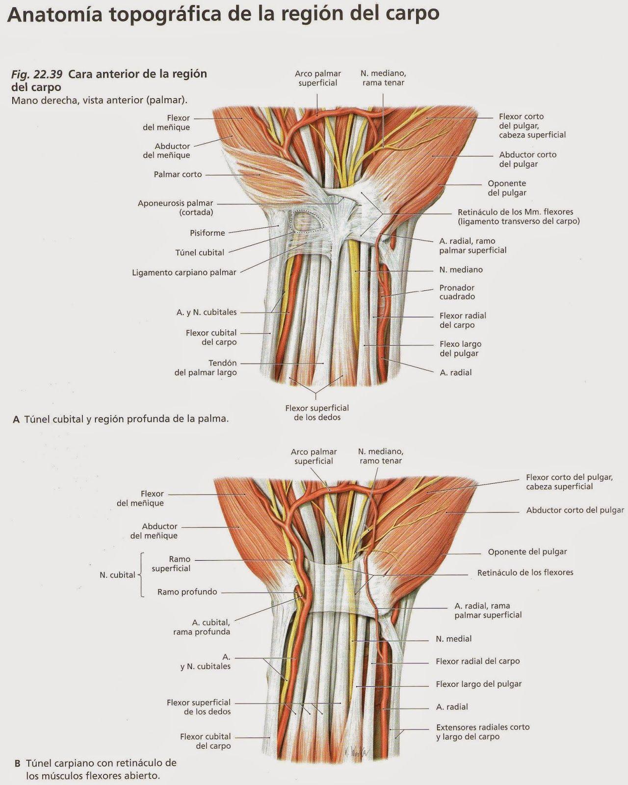Mu%C3%B1eca+03.jpg | Anatomía miembro superior | Pinterest ...