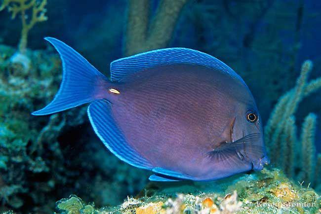 Atlantic Or Caribbean Blue Tang Acanthurus Coeruleus Beautiful Sea Creatures Tropical Fish Salt Water Fish