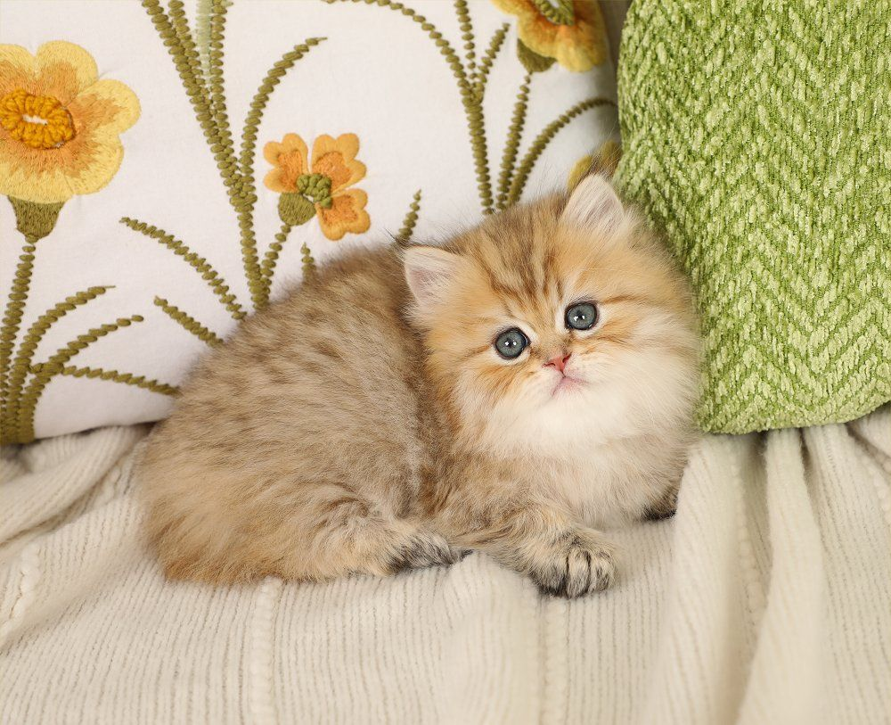 Glitterbug Golden Chinchilla Persian Kitten For Sale Persian