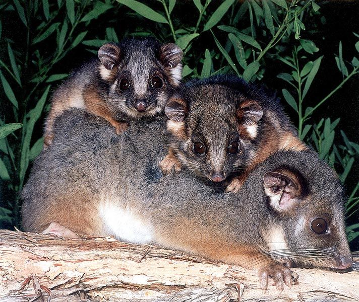 Greater Glider Possum Brushtailed Phascogale Common