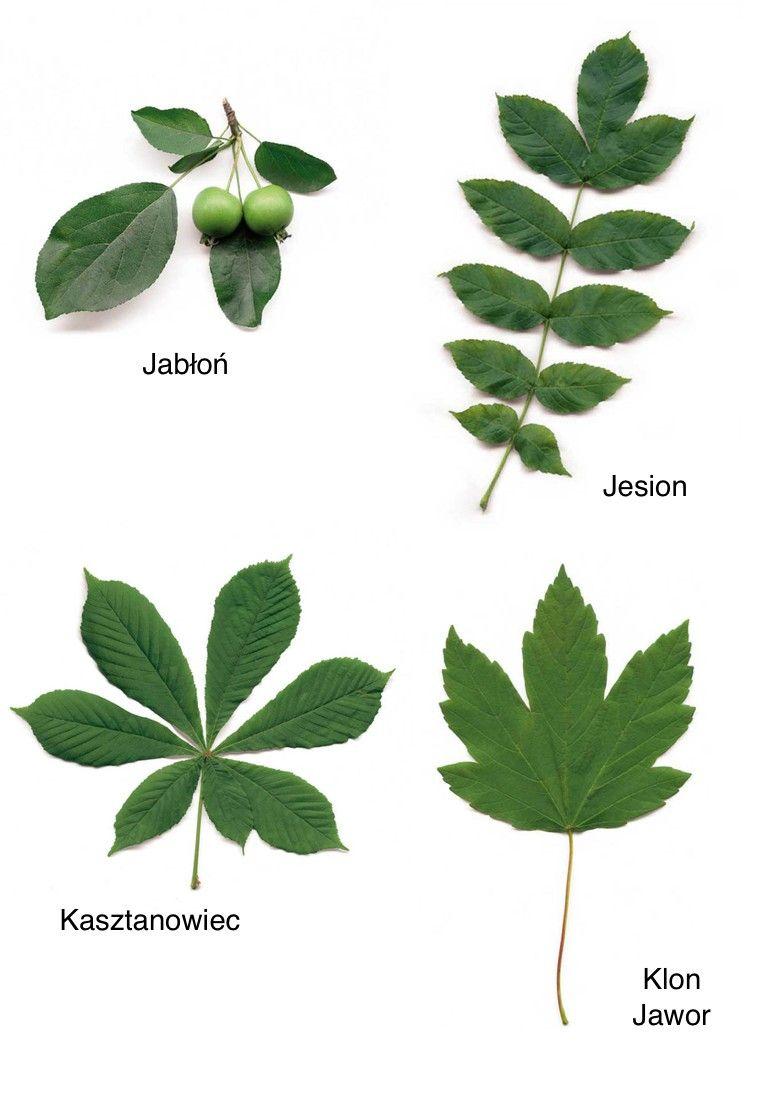 Jesienne Liscie Nazwy Drzew Dzien Drzewa Jesien Swieta I Pory Roku Wrzesien Nature Lessons Plant Leaves Plants