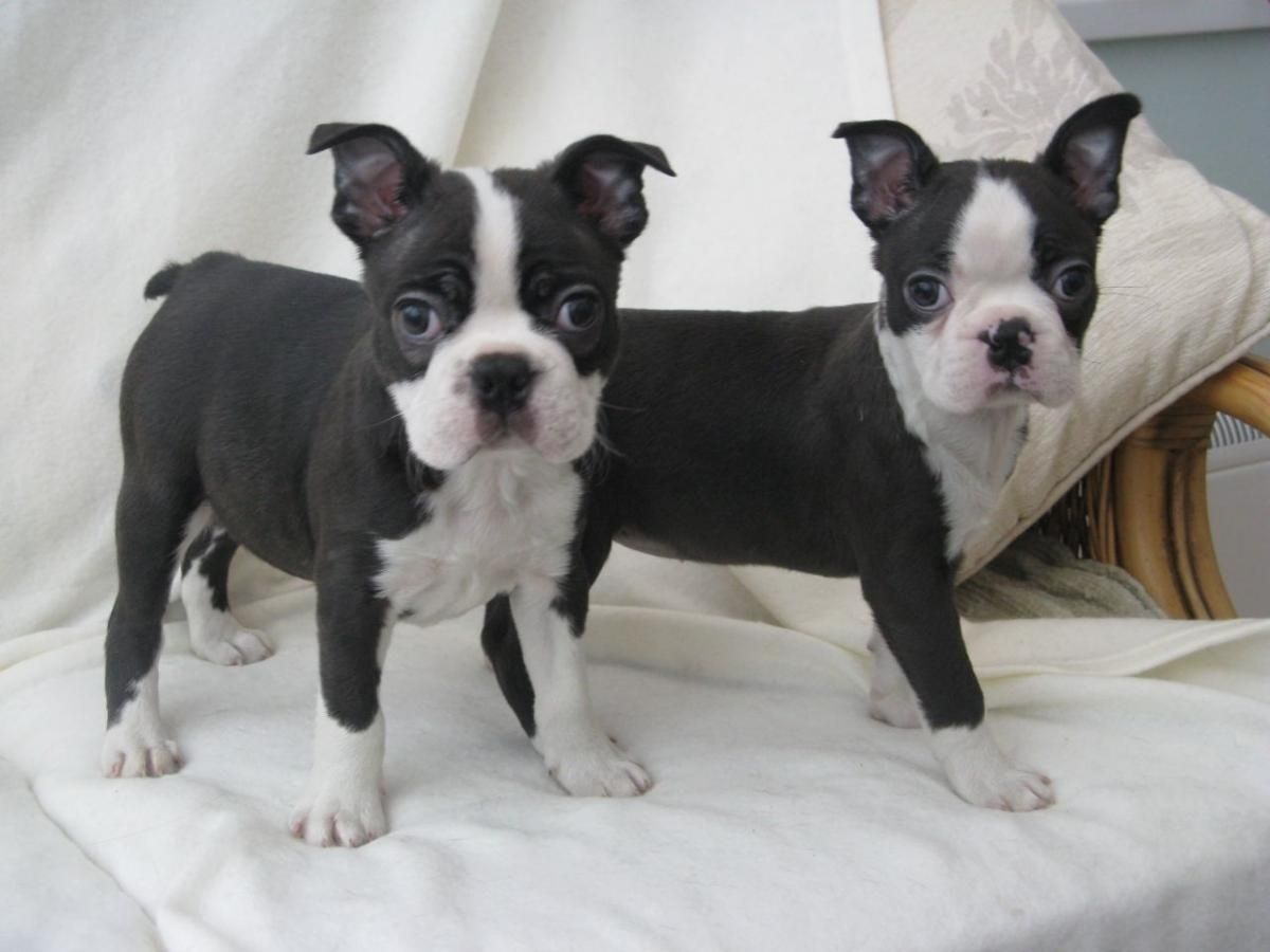 Boston Terrier Puppies Florida Craigslist Dog Boston Terrier