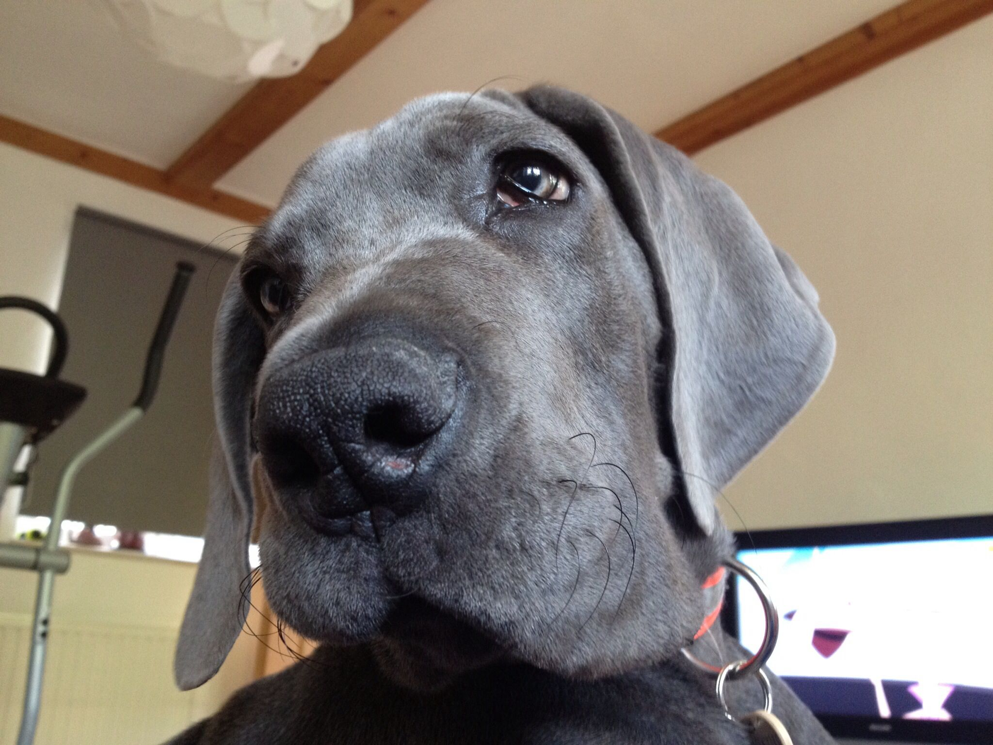 my great dane