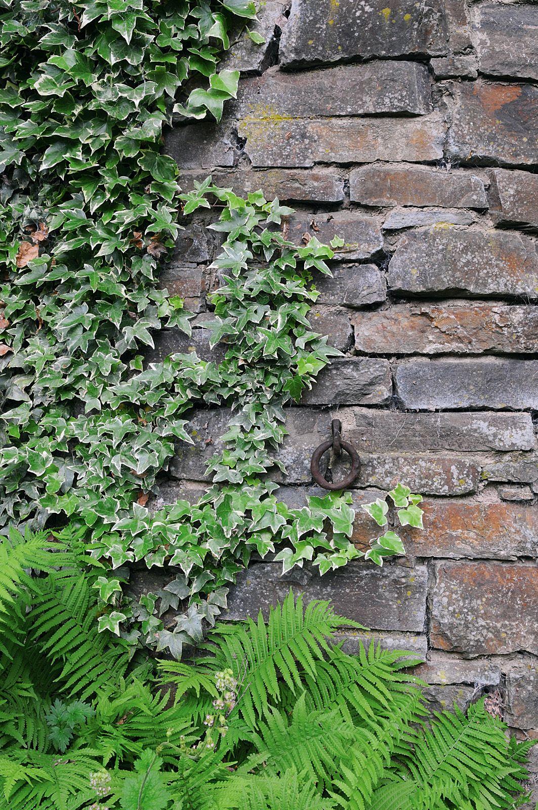 Englischen Garten Anlegen   Efeuberankte Mauer