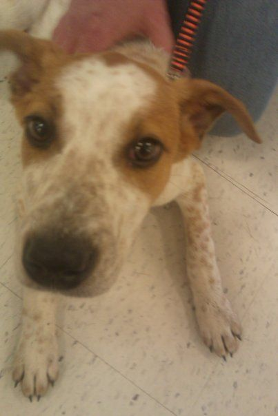 red heeler mix puppies adoptable dog of the week a red