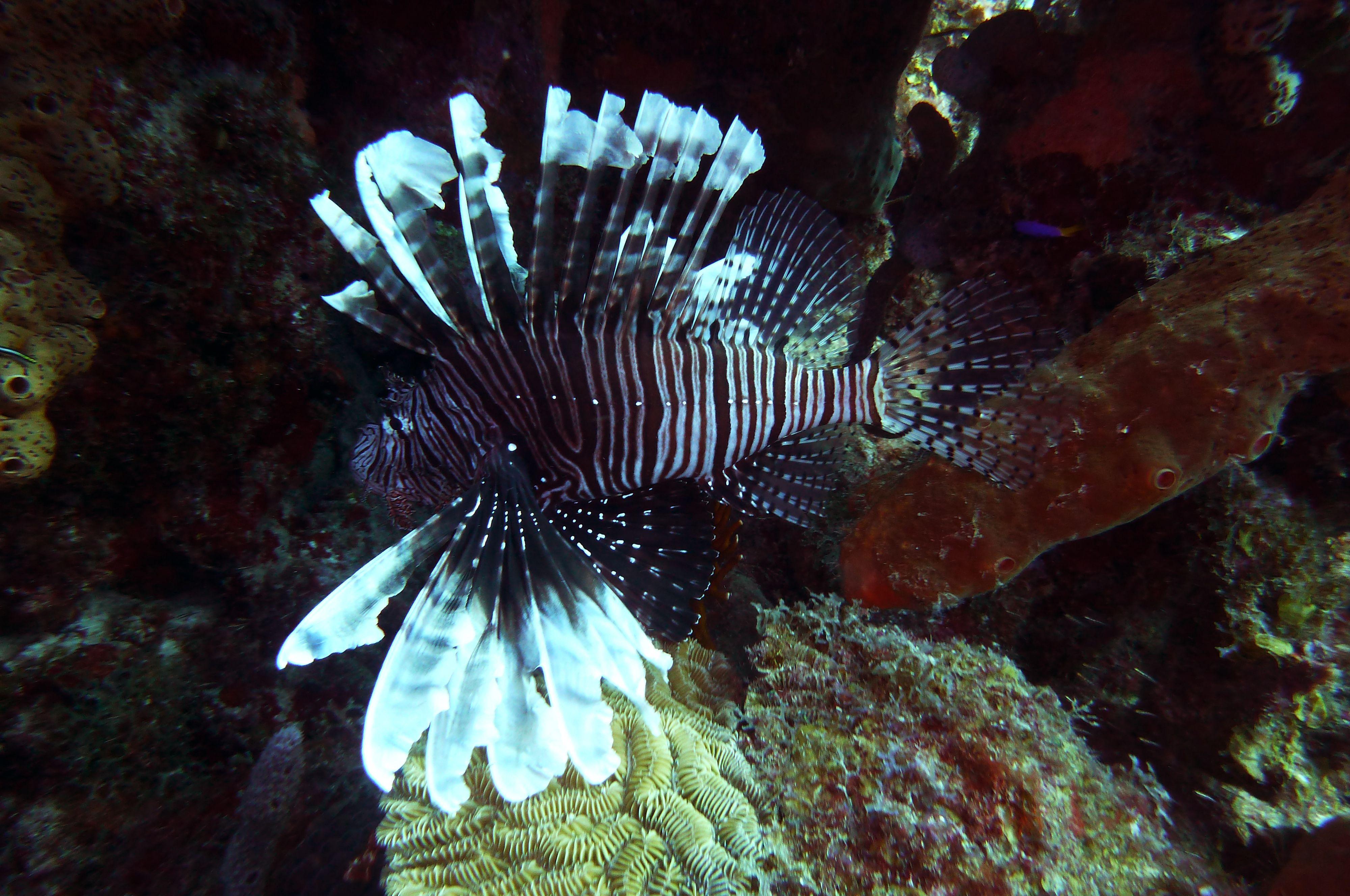 Lionfish again Lion fish, Fish pet, Aquarium fish