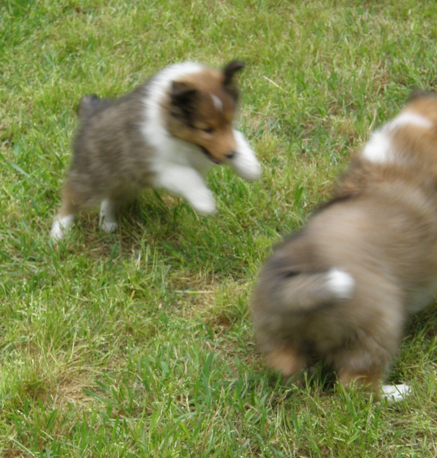 Texas Sheltie Breeders, Sheltie Pups, shetland sheepdog