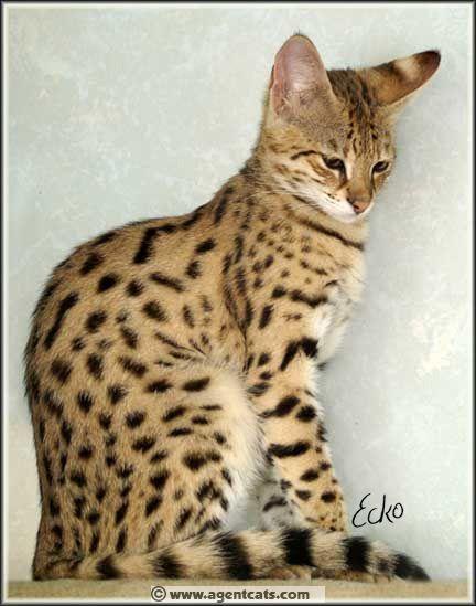 Savannah cat  I want one so bad  | animals | Katzen