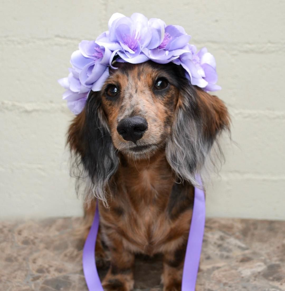 Holly Hazelnut Dachshunds On Instagram In Honor Of