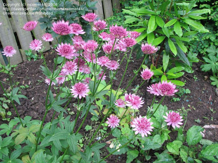 Astrantia masterwort perennial june sheffield uk this variety astrantia masterwort perennial june sheffield uk this variety has a long flowering period mightylinksfo
