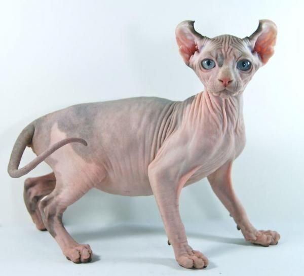The Elf cat is a very new and extremely rare hybrid breed originated in the United States by crossing the Sphynx with the American Curl Gato Peterbald, Sphynx Gato, Chat Sphynx, American Curl, Scottish Fold, Rare Cats, Cats And Kittens, Gatos Devon Rex, Dwelf Cat