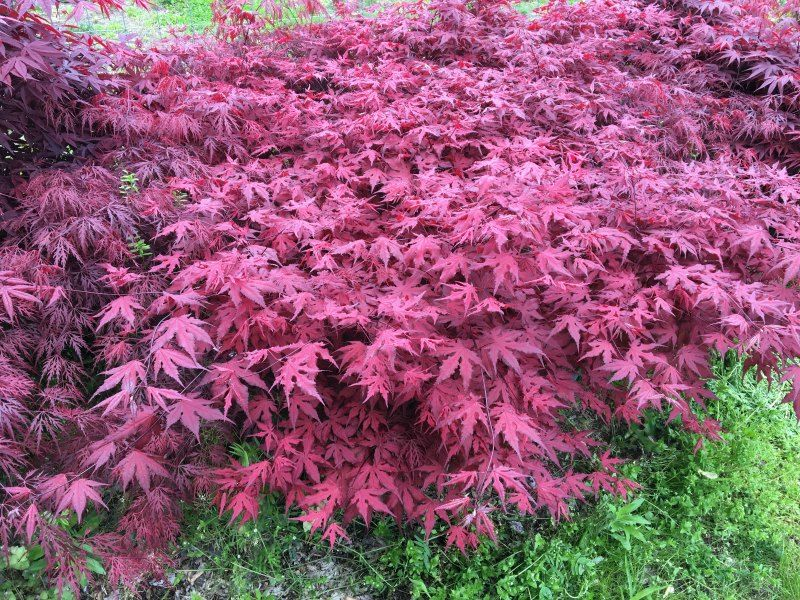Acer Palmatum Purple Ghost Planted In A Bed Of Other Japanese