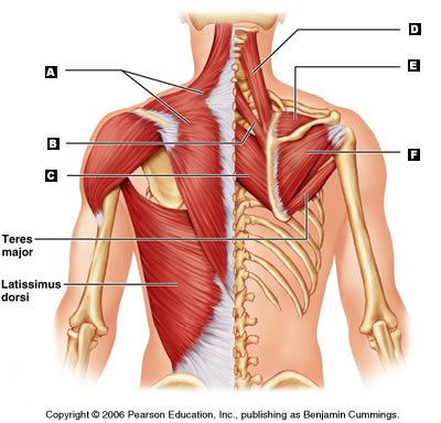 Skeletal Muscles Labeling Quiz | Anatomy - The Muscles | Pinterest ...