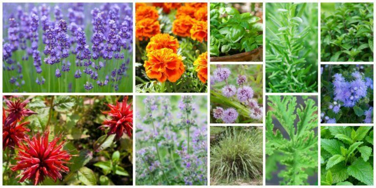 Awesome Mosquito Repellent Plants That Will Make You Go Outside Again 12 Garden Plants That Repel Mosquitos So You Can Enjoy Being OutsideLiving Rich With Coupons12 Garde...