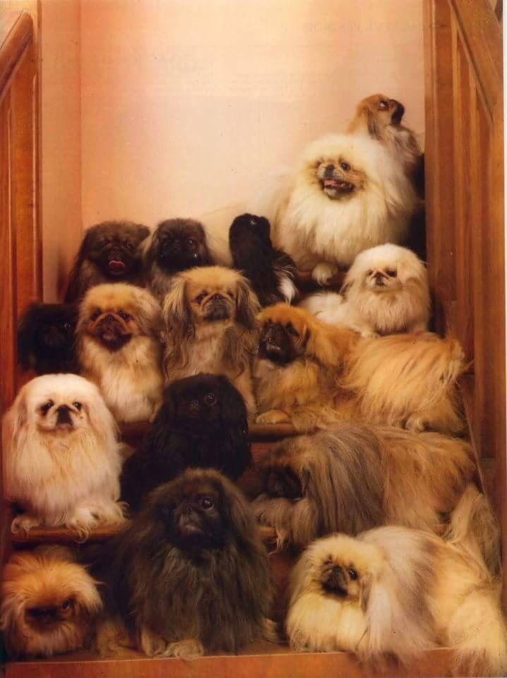Stairway To Heaven Pekingese Puppies Cute Puppies Pekingese Dogs