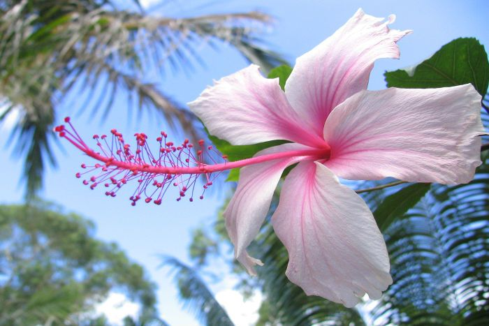 Pink Hibiscus Flower Hibiscus Flower Meaning Hibiscus Hibiscus Flowers