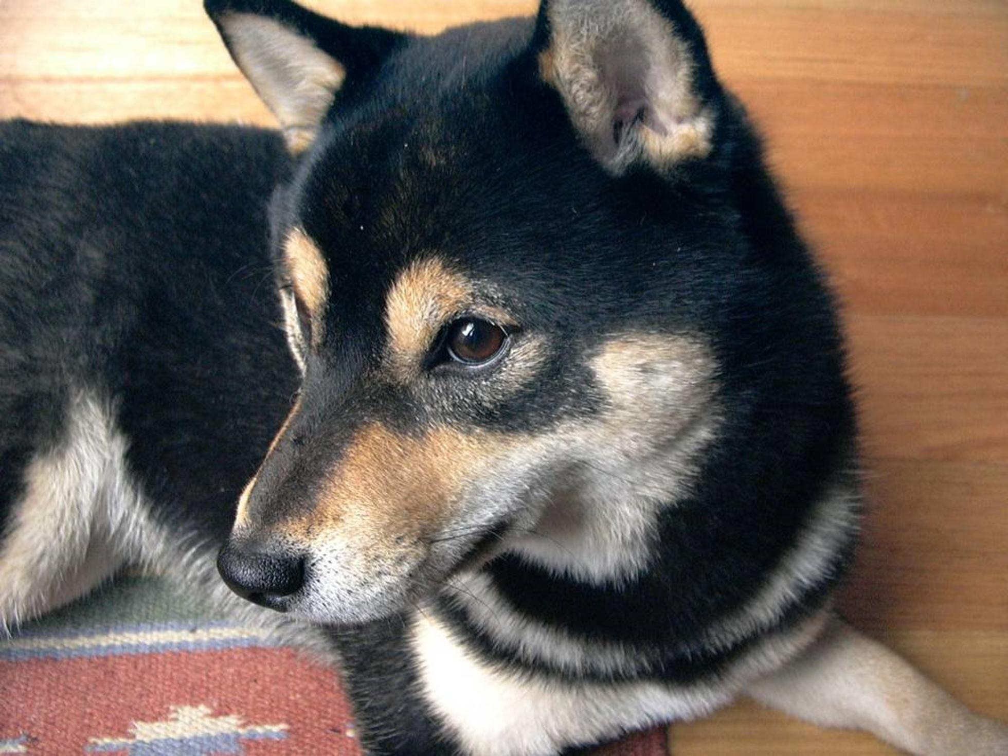 Free Wallpaper Shiba Inu Puppy Dog Shiba Inu Dog Shiba Inu Shiba Inu Puppy