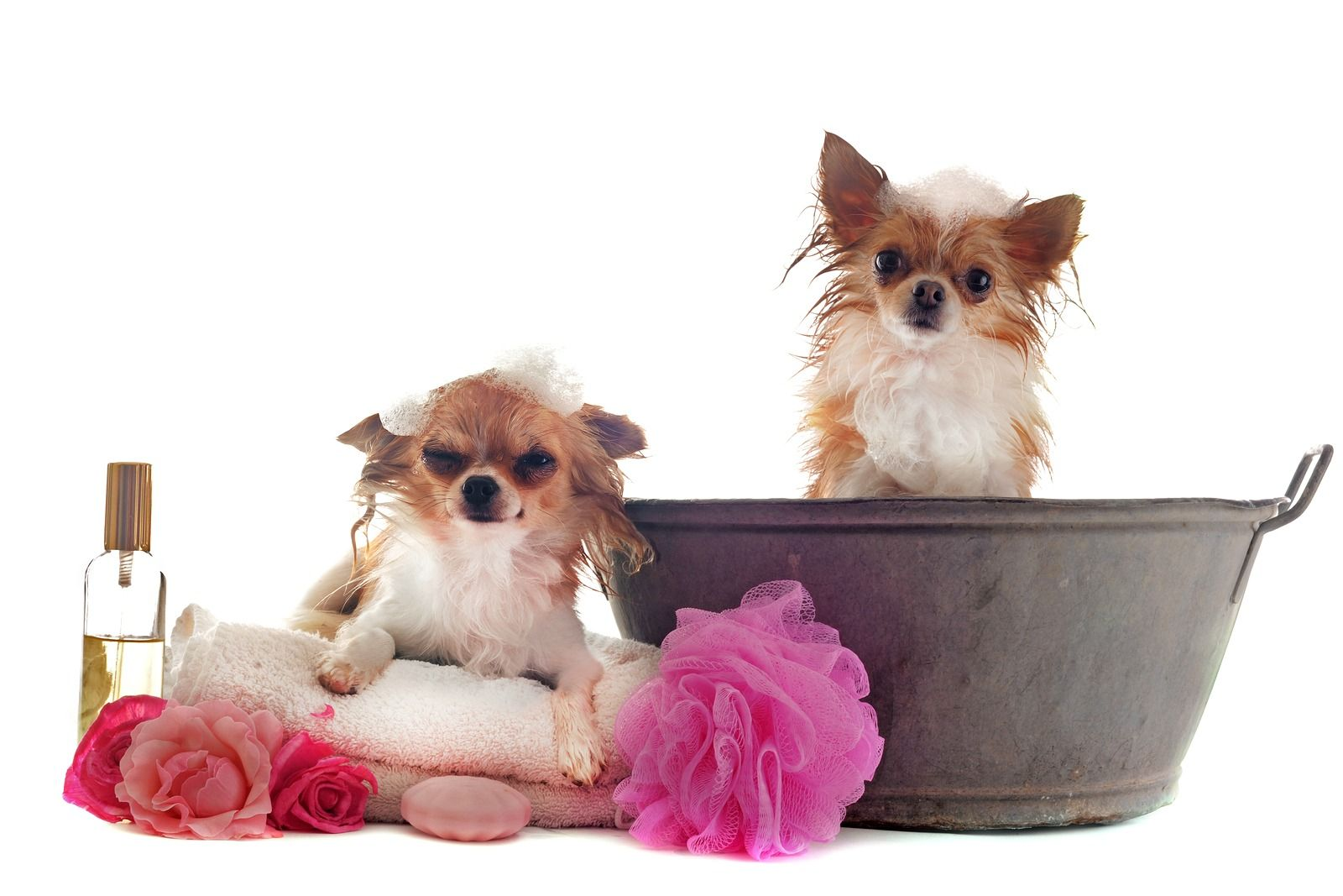How To Bathe Your Chihuahua And How Often Pets Dog Skin Chihuahua