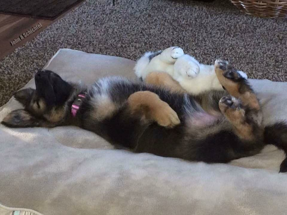 Puppy Has The Gsd Sleep Position Nailed Gsd Puppies German