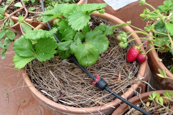 Protección de las plantas ante el frío. acolchado