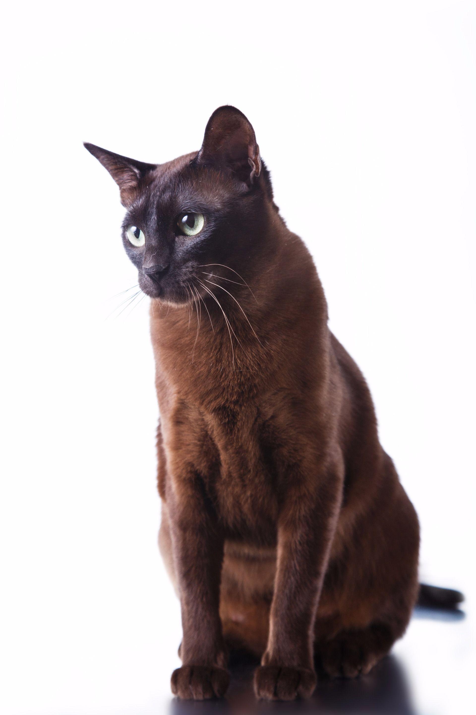 Obi Wan Kenobi Cat breeds, Brown cat, Havana brown