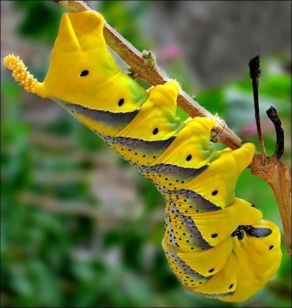 Deathhead Hawk Moth Caterpillar Insectos Raros Bellos Insectos Insectos