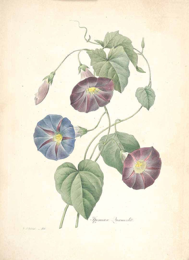 Redouté, Ipomoea quamoclit L. http://plantillustrations.org/illustration.php?id_illustration=46911