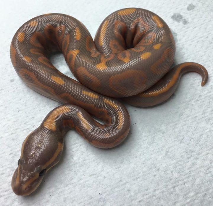A Lovely Banana Pied Ball Python Snakes T Ball Python