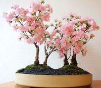 Japanese Cherry Bonsai Tree Prunus Serrulata Bonsai Tree Cherry Bonsai Japanese Bonsai Tree