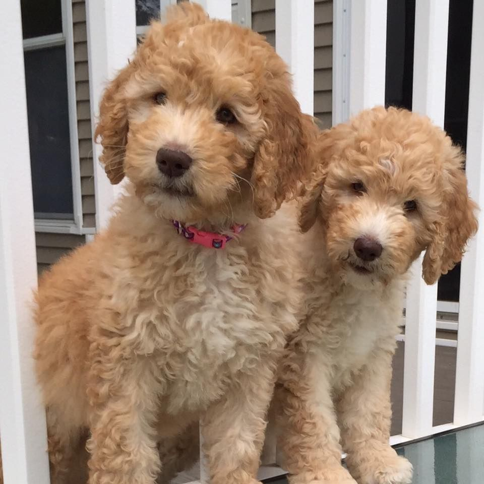 GOLDENDOODLE PUPPIES NOW INTERVIEWING FOR