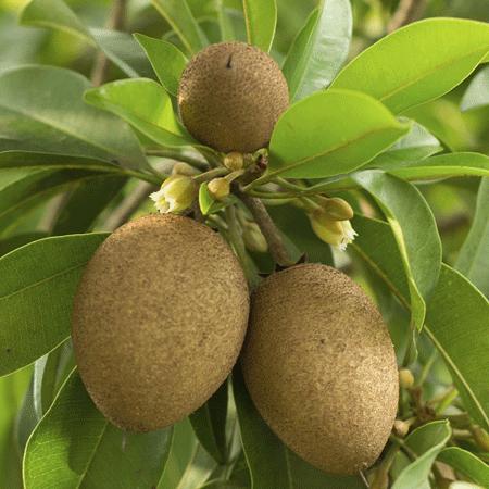 Sapodilla Tree Fast Growing Trees Fruit Trees Fruit