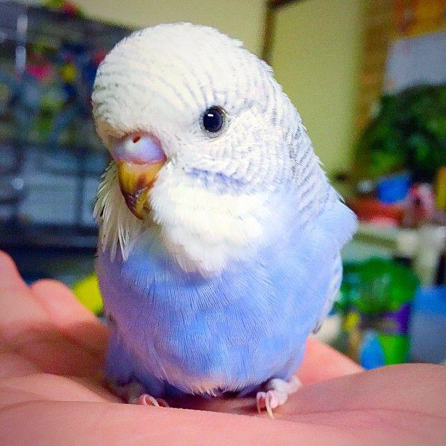 follow kevinsbirds on instagram budgiesparakeets