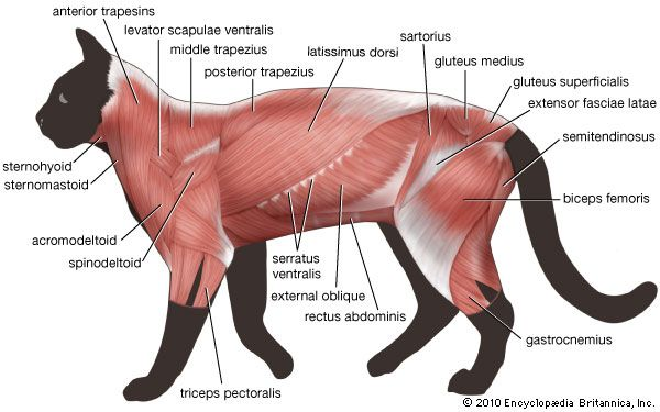 muscle | Britannica.com | Anatomy | Pinterest | Anatomía animal ...
